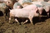 Pig Farm — Stock Photo