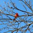 Red Cardinal in a tree - Stock Photo