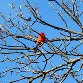 Red Cardinal in a tree — Stock Photo