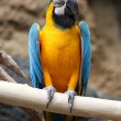 Macaw — Stock Photo #25075459