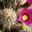 Cactus with flowers — Stock Photo