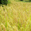Rice Field — Stock Photo #37634115