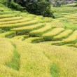 Rice Field — Stock Photo #37634131