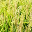 Rice Field — Stock Photo