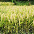 Rice Field — Stock Photo #37634179