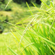 Rice Field — Stock Photo #37634193