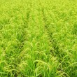 Rice Field — Stock Photo #37634233