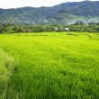 Rice Field — Stock Photo #37635099