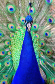 Peacock male — Stock Photo