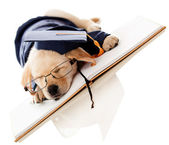 Puppy graduating from school — Stock Photo
