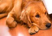 Beautiful dog at home — Stock Photo