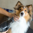 Dog being groomed at a spa — Stock Photo