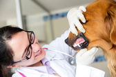 Vet checking teeth of a dog — Stock Photo