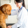 Stock Photo: Vet checking a dog