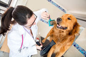 Vet grooming a dog — Stock fotografie