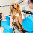 Dog at the vet being groomed - Foto de Stock