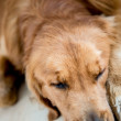 Royalty-Free Stock Photo: Tired dog