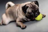 Dog playing with a ball — Stock Photo