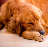 Tired dog — Stock Photo