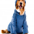 Hip dog in a hoodie — Stock Photo