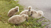 Baby swans - cygnets — Стоковое фото