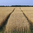 Wheaten field — Stock Photo #12366198