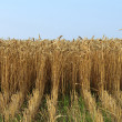 Wheat ears — Stock Photo #12366383