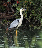 Sulfuric heron — Stock Photo