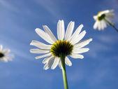 Three daisywheels — Stock Photo