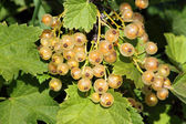 Blanching currant — Stock Photo
