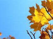 Mavi gökyüzü arka plan üzerinde sonbahar yaprakları — Stok fotoğraf