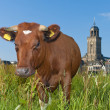 Brown cow — Stockfoto