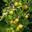 Royalty-Free Stock Photo: Apple tree