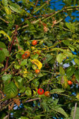 Ripe rosehips — Stock Photo