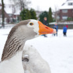 Domestic goose — Stock Photo #24226281