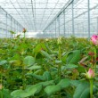 Greenhouse with roses — Stock Photo