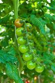 зеленые помидоры — Стоковое фото