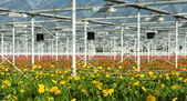 Flowers in a commercial greenhouse — Stock Photo