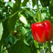 Red bell pepper — Stock Photo #30489993
