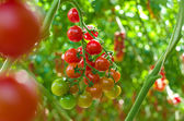 Ripe tomatoes in a greenhouse — Stock Photo