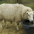 Sheep drinking water — Stock Photo