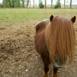 Stock Photo: Small pony