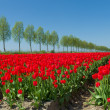 Tulip field — Stock Photo