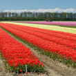 Tulip field — Stock Photo #32298905