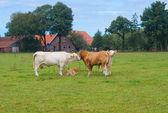 Limousine cows — Stock Photo