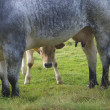 Stock Photo: Shy calf
