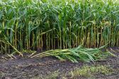 Maize field — Stock Photo