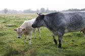 Koe met kalf — Stockfoto