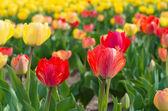Blooming tulips — Stock Photo