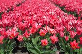Red tulips — Stock Photo